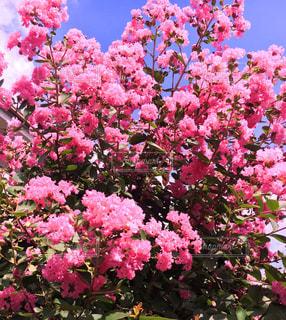 花,ピンク,景色,鮮やか,サルスベリ,愛嬌