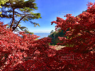 大山寺の紅葉の写真・画像素材[1635707]
