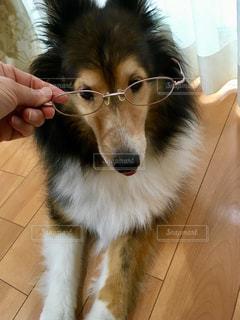 ワンちゃんにメガネの写真・画像素材[2074179]