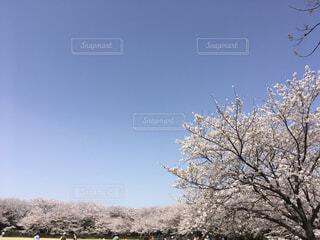 ソメイヨシノの写真・画像素材[4612030]