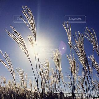 秋,日差し,ススキ,阿蘇,秋の空,秋の光