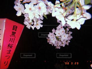 桜,ピンク,夜桜,お花見,目黒川,pink
