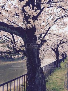 京都高野川の桜並木の写真・画像素材[1478908]