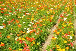 晴れ,お花,ポピー,初夏,デート