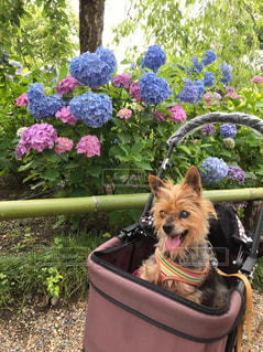 犬,晴れ,紫陽花,幸せ,6月,ヨークシャテリア,快晴,お散歩,お出かけ