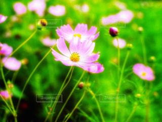 花,屋外,コスモス,鮮やか,草木