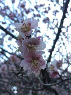 桜,ピンク,ピンク色,桃色