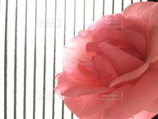 花,ピンク,バラ,ライフスタイル,草木,ストライプ