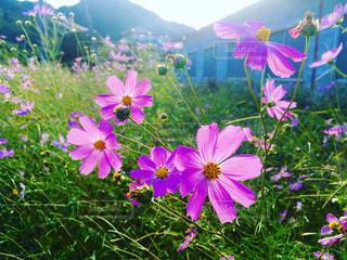 空,秋,ピンク,緑,青,秋桜,秋空,草木,伊香保