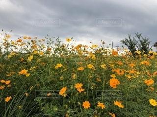 風景,コスモス,曇り,オレンジ,キバナコスモス