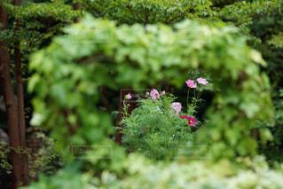 風景,ピンク,コスモス,曇り,ハート,可愛い,箱根