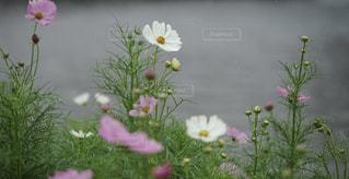 風景,花,コスモス,曇り,可愛い,箱根