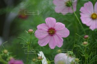 風景,花,雨,ピンク,コスモス,可愛い,箱根