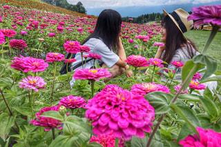 ピンクの花の写真・画像素材[1480926]