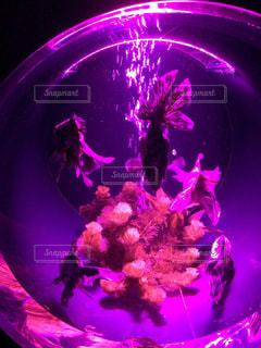 ピンク,紫,幻想的,金魚,無脊椎動物