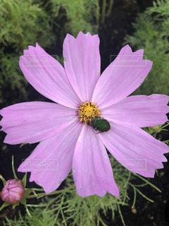 花,屋外,コスモス,草木