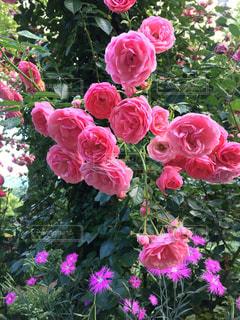 自然,夏,ピンク,薔薇,神戸,ハーブ園,ラブリー