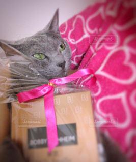 猫,屋内,ピンク,プレゼント,ハート,リボン,ロシアンブルー,pink,ジト目