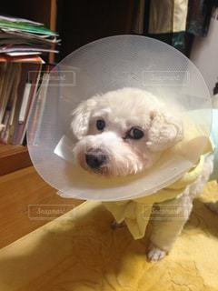 テーブルに座っている小さな白い犬の写真・画像素材[1825494]