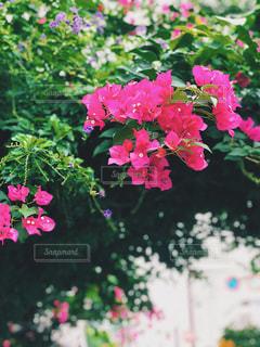 花,屋外,ピンク,鮮やか,樹木,草木,ガーデン