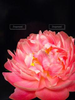 ピンク,かわいい,ふわふわ,ピンクの花,ピンク色,pink,芍薬,シャクヤク,ピオニー