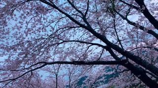 空,桜,屋外,ピンク,樹木