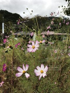 花,ピンク,コスモス,妻籠宿