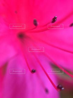ピンク,ツツジ,ピンク色,接写,pink,つつじ
