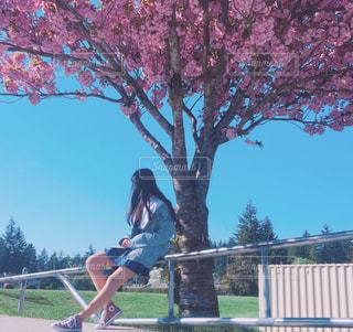 学校の桜の写真・画像素材[1480514]