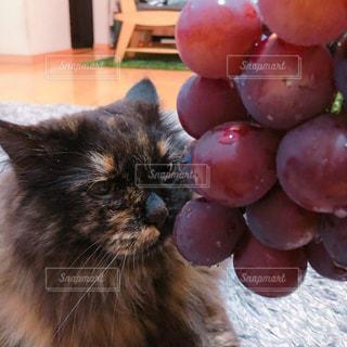 猫とぶどうの写真・画像素材[1481073]