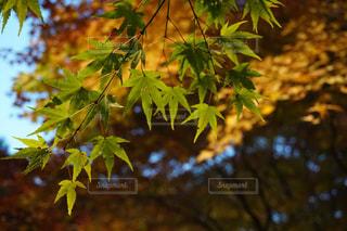 自然,秋,紅葉,屋外,葉,もみじ,樹木,長野県,草木,10月,カエデ,モミジ,箕輪町,もみじ湖