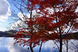 自然,秋,紅葉,屋外,もみじ,樹木,長野県,佐久市,10月,白樺湖,カエデ,モミジ,白樺高原