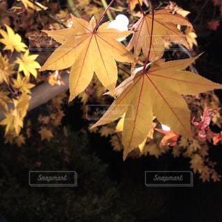 夜の紅葉の写真・画像素材[1629290]