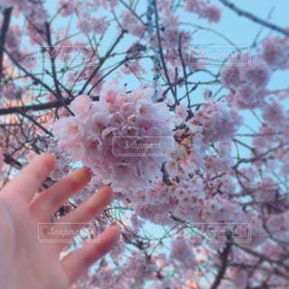 ピンクの花の木の写真・画像素材[1793649]