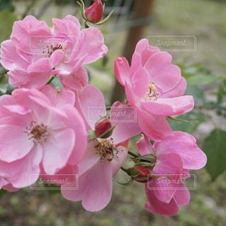 ピンクの花の写真・画像素材[1793660]