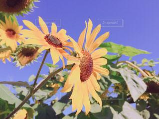 自然,花,植物,ひまわり,黄色,向日葵,幸せ,イエロー,ひまわり畑,黄,草木,yellow