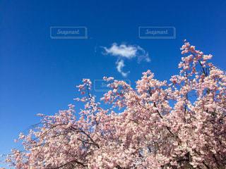 空,春,桜,木,屋外,ピンク,青空,花見,満開,樹木,旅行,桜吹雪,松本,草木,日中,弘法山古墳