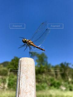 空,秋,屋外,青空,飛ぶ,昆虫採集,虫,トンボ,昆虫,飛行,蜻蛉,日中,赤トンボ,アキアカネ