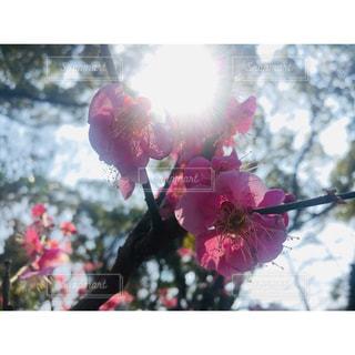 ピンク,梅,お花,梅の花,天王寺公園,太陽の光,てんしば