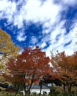 空,秋,紅葉,雲,青空,大空,もみじ,龍,秋晴れ,コントラスト,草木,秋の空,日中