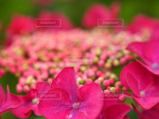 花,ピンク,鮮やか,紫陽花,草木