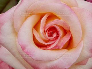 ピンク,バラ,薔薇,桃色,伊丹市,荒牧バラ公園