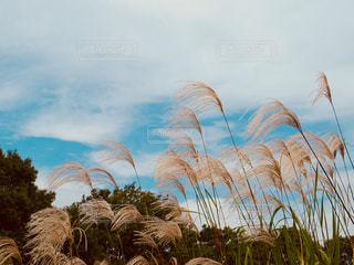 風景,空,秋,奈良,秋空,すすき,平城宮跡