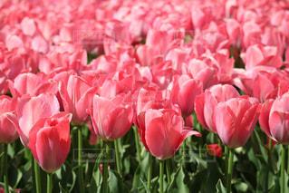 花,花畑,ピンク,チューリップ,ピンク色,桃色,pink,京都府立植物園