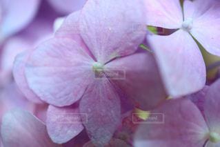 花,ピンク,紫陽花,ピンク色,桃色,pink,万博記念公園,アジサイ