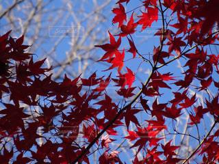空,紅葉,赤,もみじ,秋空,東福寺
