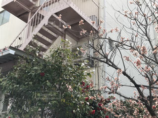 花,屋外,ピンク,樹木,pink,ピンクの階段