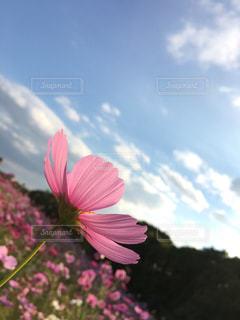 花,秋,コスモス,秋空