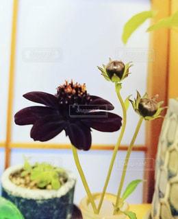花,秋,コスモス,和室,香り,秋色,チョコレートコスモス,甘い香り,秋の足音