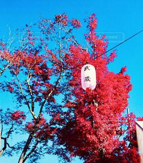 秋,紅葉,赤,青空,もみじ,鮮やか,提灯,秋空